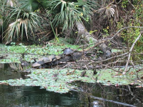 Wekiwa Springs State Park: Turtles
