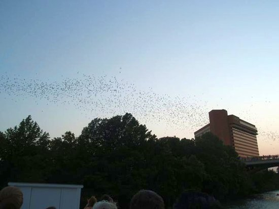 Capital Cruises: Bats streaming out from under the bridge