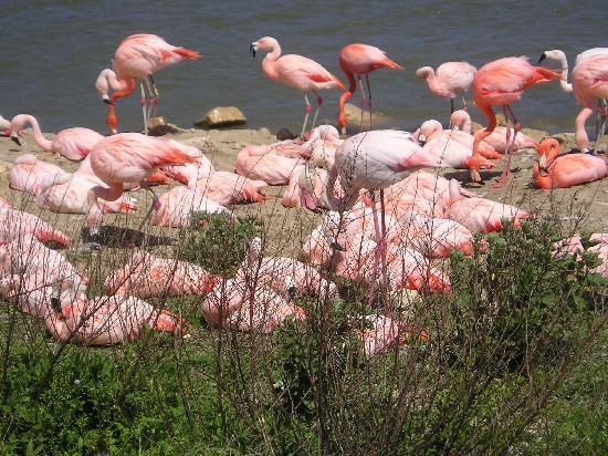 Reserve Africaine de Sigean : flamants rose