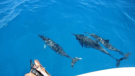 Oahu Diving: Dolphins
