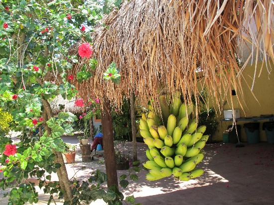 Village Tan Kah : Huge bunch of bananas lashed to the thatched roof. Pick your own!