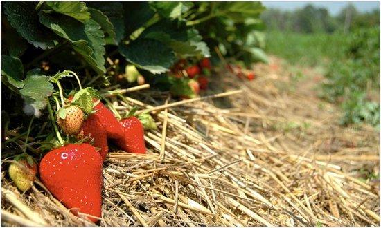 Agriturismo - Residenza Le Magnolie: Le nostre fragole - Azienda Agricolia