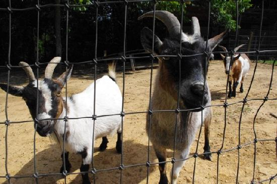 Meadow View Farm Bed and Breakfast: The friendliest goats you'll ever meet