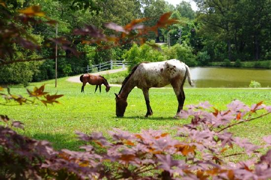 Meadow View Farm Bed and Breakfast: Grazing out front