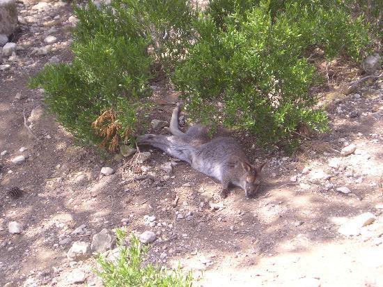 Reserve Africaine de Sigean : wallaby
