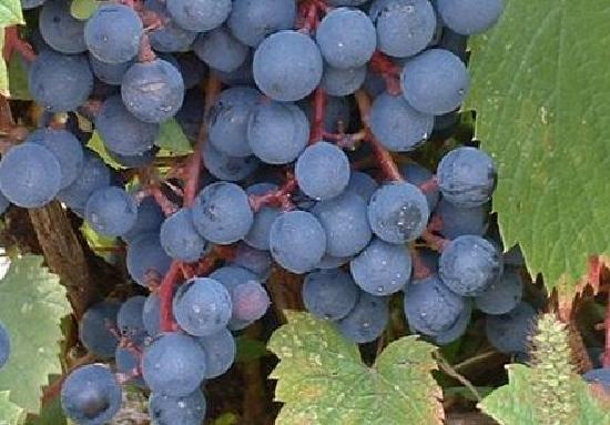 La Route des Vins: grappe