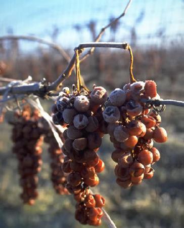 La Route des Vins: vin de glace