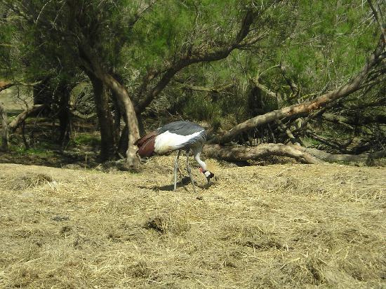 Reserve Africaine de Sigean : grue couronnée (savane)
