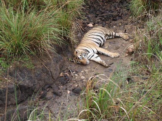 Baghira Log Huts: Tiger View at Kanha