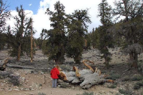 Ancient Bristlecone Pine Forest : Discovery Trail 1 mile loop