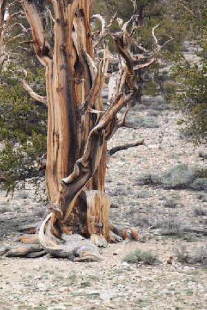 Ancient Bristlecone Pine Forest: Bristle Cone Pine Tree