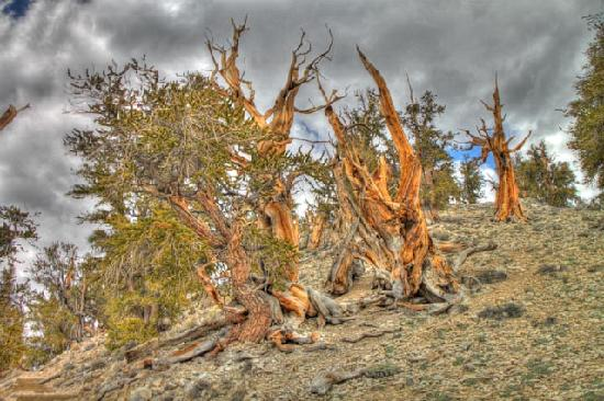Ancient Bristlecone Pine Forest: High Dynamic Range Photo