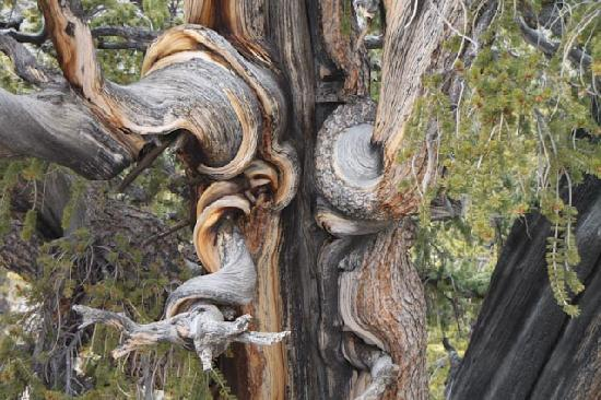 Ancient Bristlecone Pine Forest: Beautiful patterns in the ancient trees
