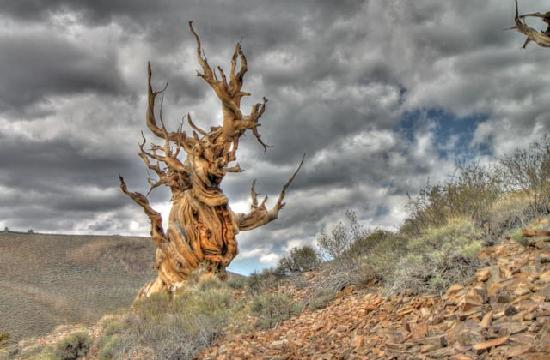 Ancient Bristlecone Pine Forest: HDR photo combining 3 photos with difference exposures