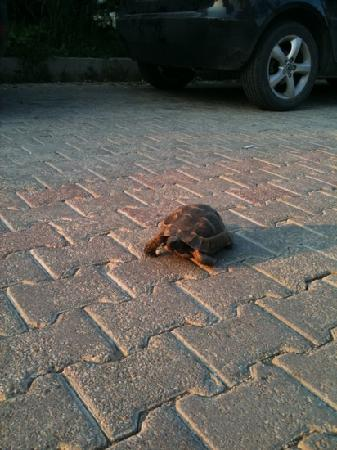Hotel Greenland: turtle walking down path of Greenland hotel!!