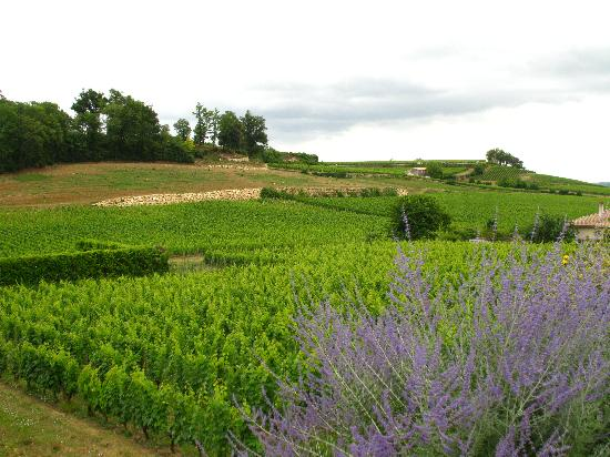 Saint-Emilion, Frankrike: lavender and vineyards