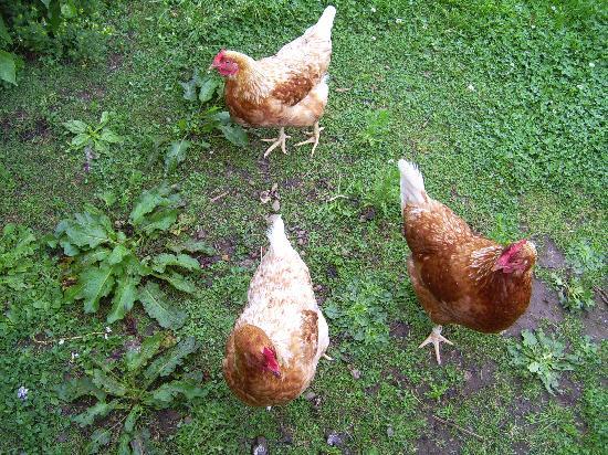 Scalby Hayes Bed & Breakfast: Free range chickens, fresh eggs for breakfast