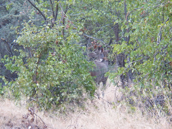 Moremi Game Reserve, Botswana: A kudu in the dense forest of Moremi