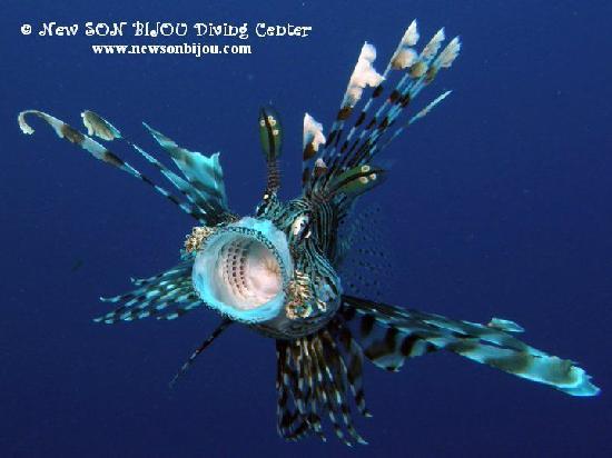 New Son Bijou Diving Center : a big hello from lion fish - www.newsonbijou.com -