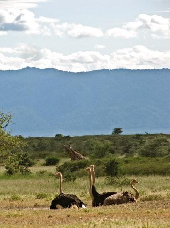Manyara Ranch Conservancy : Ostrich family with giraffe looking on