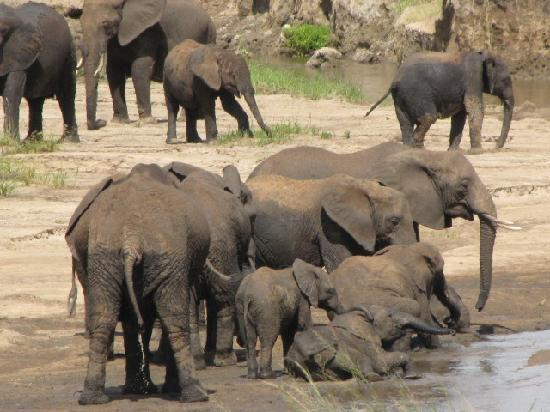 Manyara Ranch Conservancy : Baby elephants frolicking with their Mum's!