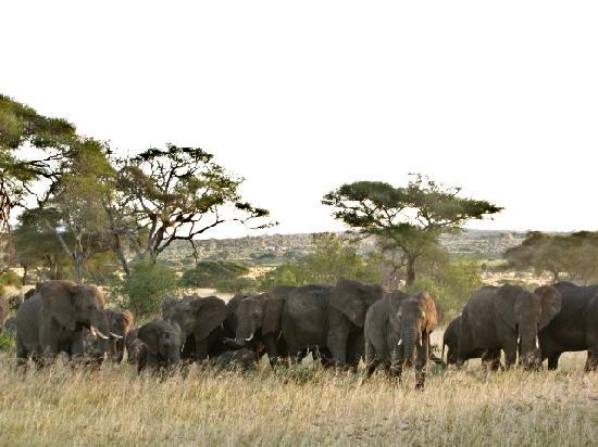 Manyara Ranch Conservancy: Elephants by the dozen!