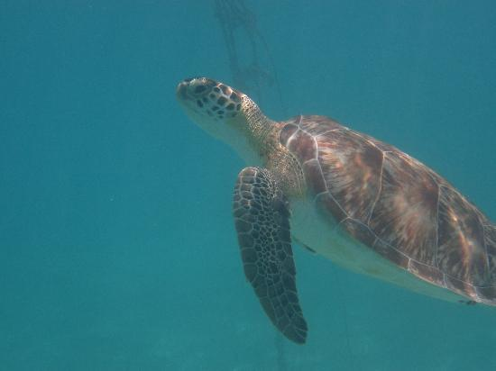 Akumal, Mexico: Schildkröte