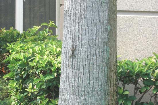 Homewood Suites Orlando-International Drive/Convention Center: lizard