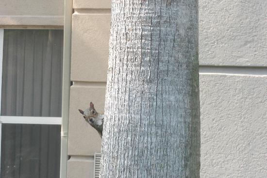Homewood Suites Orlando-International Drive/Convention Center: squirrel