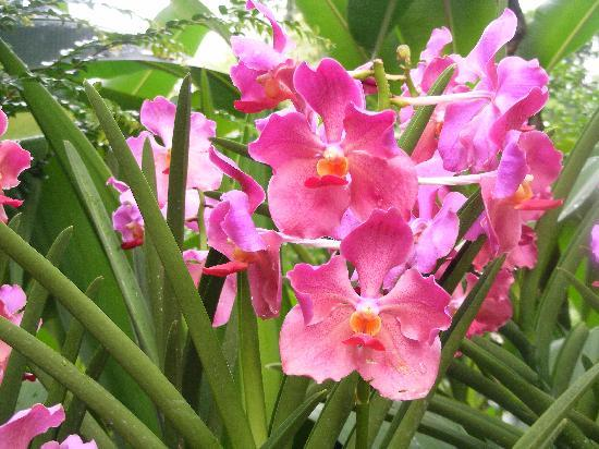 Singapore: Botanical garden Orchids