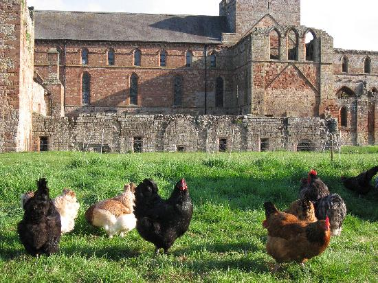Lanercost, UK: Rare breed chickens in the garden