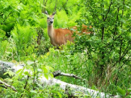 Two Harbors, MN: Deer at Gooseberry Falls