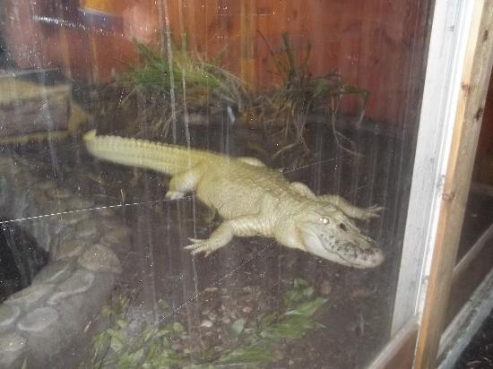 Palm Beach Zoo & Conservation Society : White Gator
