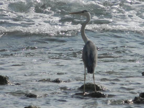 Lakshadweep Homestay Kasim K: A stork at Parali1 island