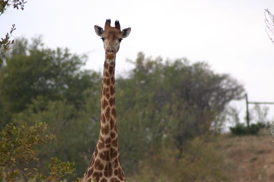 Shikwari Game Reserve : a beautiful giraffe from the lodge