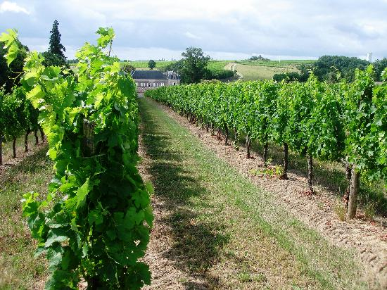 Chateau Carbonneau: Through the grapevines!