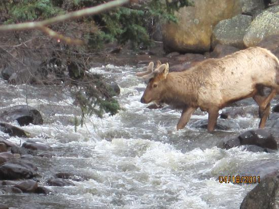 Swiftcurrent Lodge On The River: Elk crossing the river right in front of the Hot Tub
