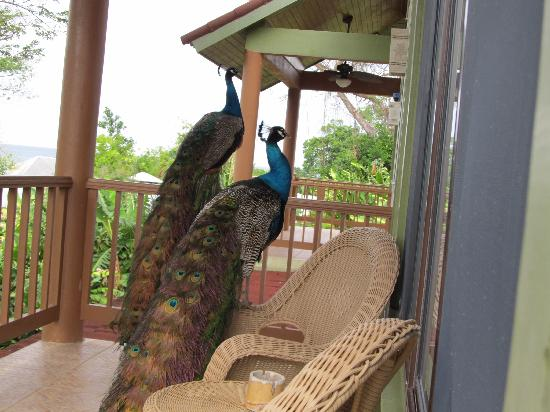 Rhodes Beach Resort Negril : The beautiful peacocks visiting my front porch