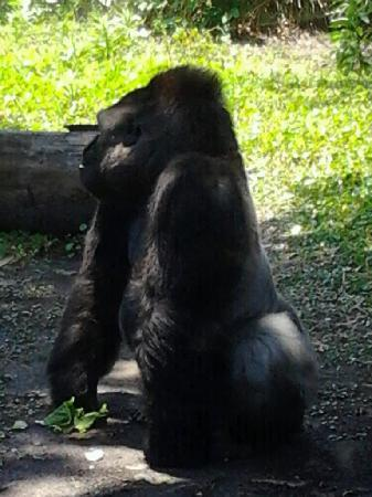 Jacksonville Zoo & Gardens : Mr.Silverback showing me his shining glory.