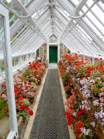The Lost Gardens of Heligan: The pelargonium house at Heligan, June 2011