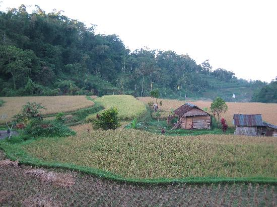 Saranam Eco Resort Bali : This resort has its own padi fields!
