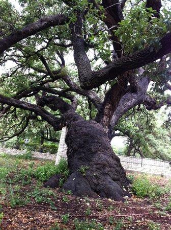 Landa Park: Huge oak tree