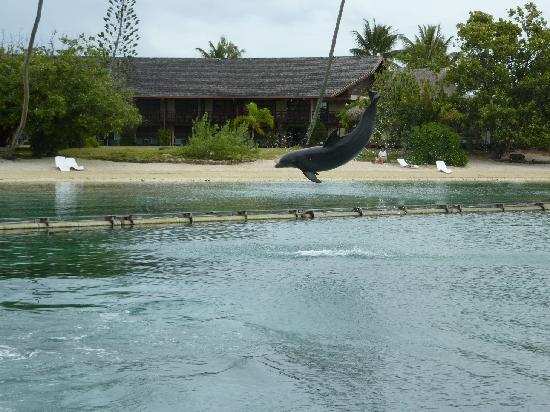 Moorea Dolphin Center: Un dauphin au travail