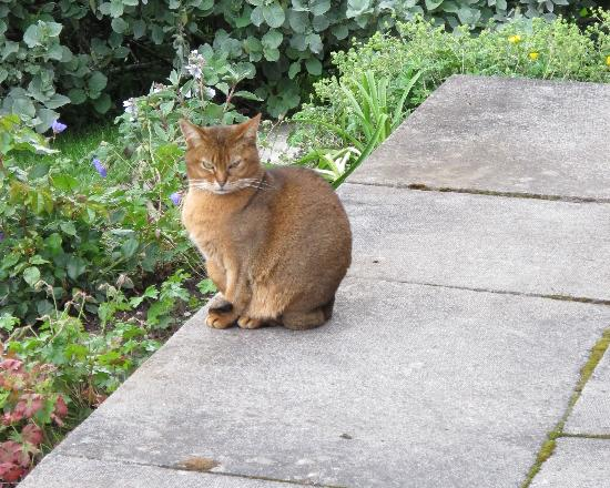 Craigiewood: One of the elusive Abyssinian cats