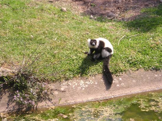Parc Zoologique de Frejus : lémurien