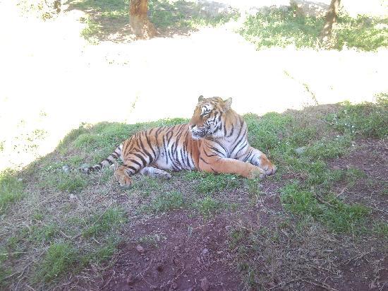 Parc Zoologique de Frejus : tigre du Bengale