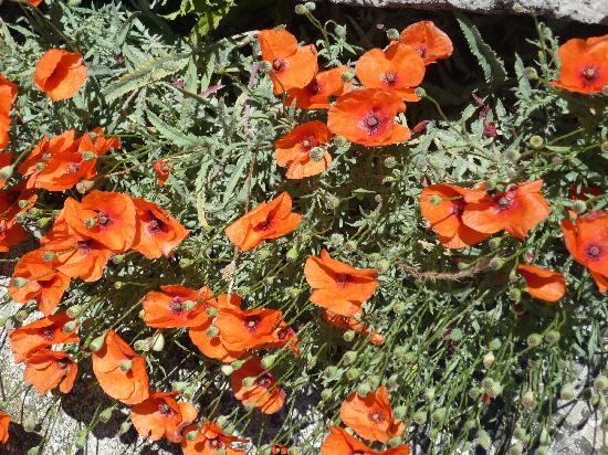 Hotel Sous les Figuiers: Wild poppies grow in St Remy district!