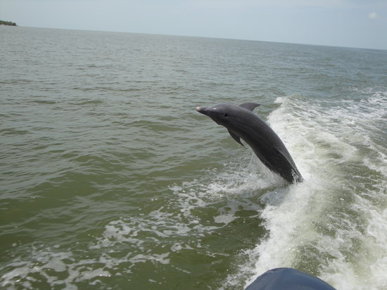 Everglades City, ฟลอริด้า: Dolphin jumping behind our boat - 10,000 Islands tour