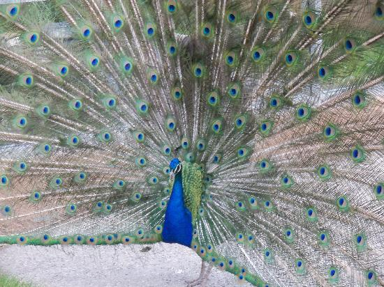 Peacock at the Red River Zoo in June 2011.