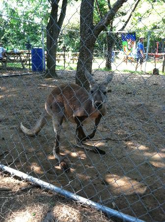 Purdy's Petting Zoo: The kangaroo was awesome.